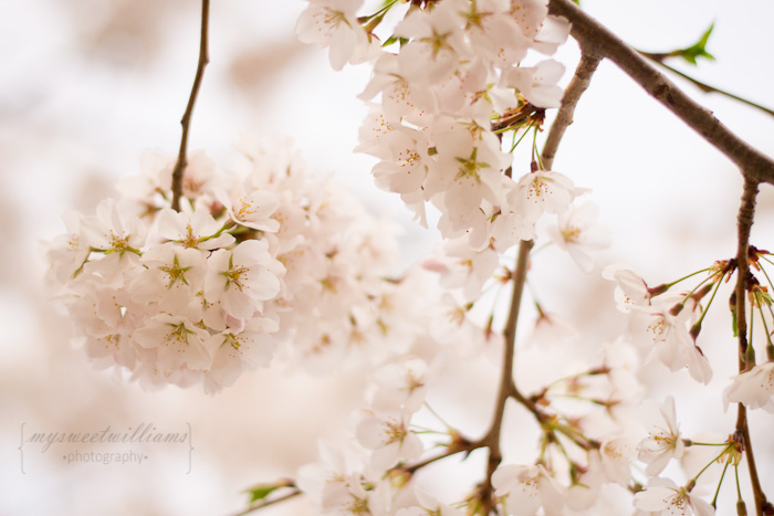cherry blossoms 2013-0022