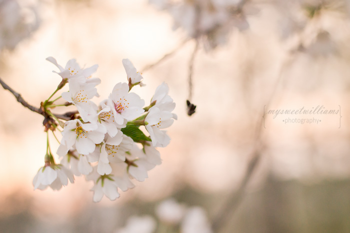 cherry blossoms 2013-0026