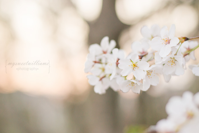cherry blossoms 2013-0095