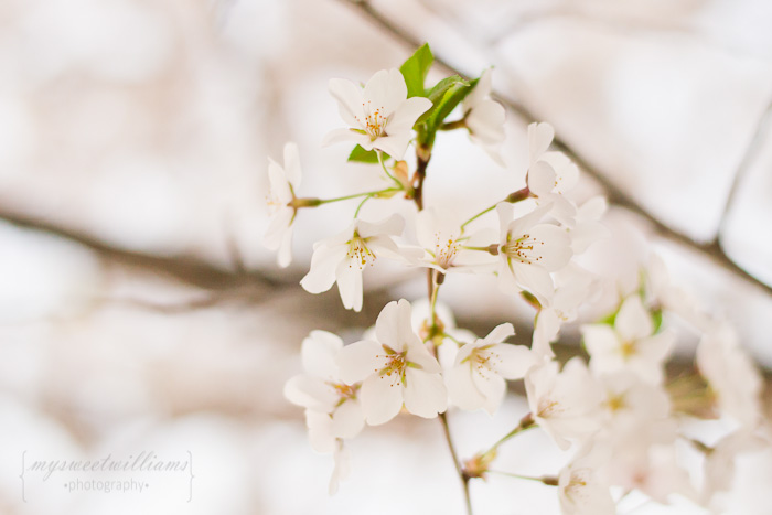 cherry blossoms 2013-0136